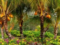 palm trees fruits yellow trees 1920x1080