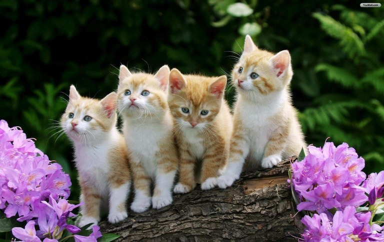 white and brown cats mobile iphone wallpapers_768x485